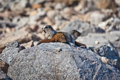 Two Marmots at Plain of Six Glaciers in Lake Louise, Banff National Park.