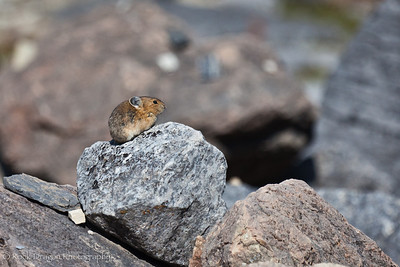 A pika at Plain of Six Glaciers in Lake Louise, Banff National Park.