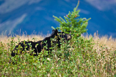A Black Bear in Watetton Lakes National Park.