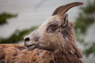 A bighorn sheep in Banff National Park.