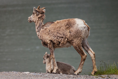 A bighorn sheep and her young in Banff National Park.