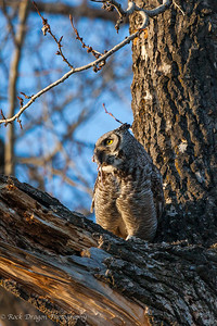 A great horned owl in Fish Creek Park.