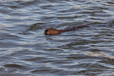 A beaver in Fish Creek Park.