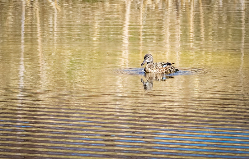 Female Blue Winged Teal by janet