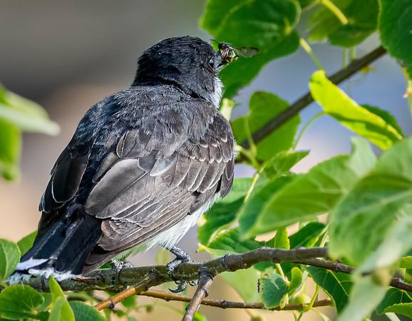 Eastern Kingbird catching a bug