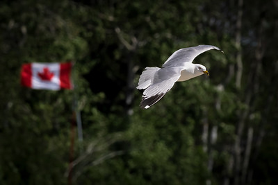 I am always amazed at the fantastic 'Birds In Flight' images that we often see in our Daily Photos. They really are incredibly difficult to shoot.   I find them almost impossible and have pretty much a zero success rate - if only birds would not fly quite so fast, I would have a lot more luck.   Or if they would just hover overhead, like this Seagull, who was basically motionless in the wind - it makes it much easier to get the shot. 07/22/20
