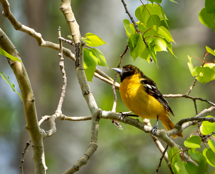 Female Baltimore Oriole? by janet