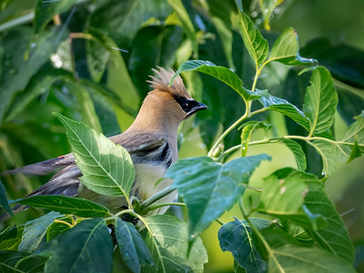 The adult Cedar Waxwings were always close by, keeping a watchful eye on the youngsters as they played in the water, but it was difficult to spot them. They are so good at hiding in the trees.   I finally got a quick shot of this handsome fellow, I think it's a male. Apparently the males & females have similar coloration, but the male has black feathers on his chin…. which I think I see here.   I'm interested to see what our resident experts have to say…. 08/19/20