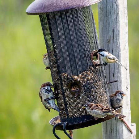 Many birds, mostly sparrows