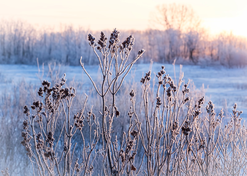 Frost on the lilacs