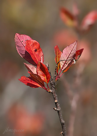 Autumn colours in the afternoon light. I don't know what kind of shrub this is. There is one lovely little patch on the Prairie, so it gets to be included in the gallery...:-))