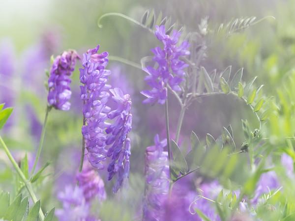 Purple Milkvetch in bloom