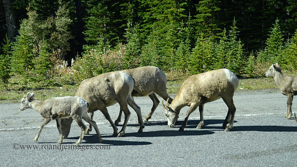 Big Horn Sheep, Banff Park, Alberta, Canada