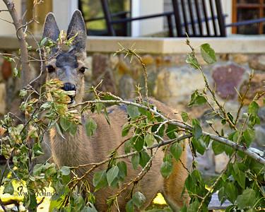 Mule Deer- Waterton, Alberta, Canada