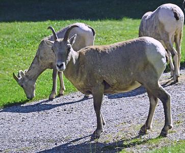 Big Horn Sheep, Waterton, Alberta, Canada