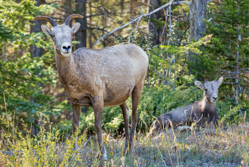 Female Big Horn Sheep, Banff National Park, Alberta, Canada