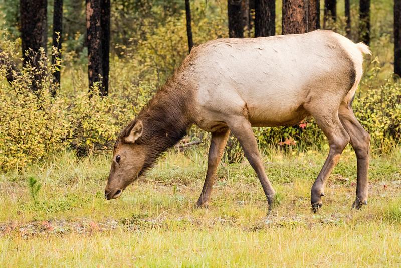 Female Elk, Jasper National Park, Alberta, Canada