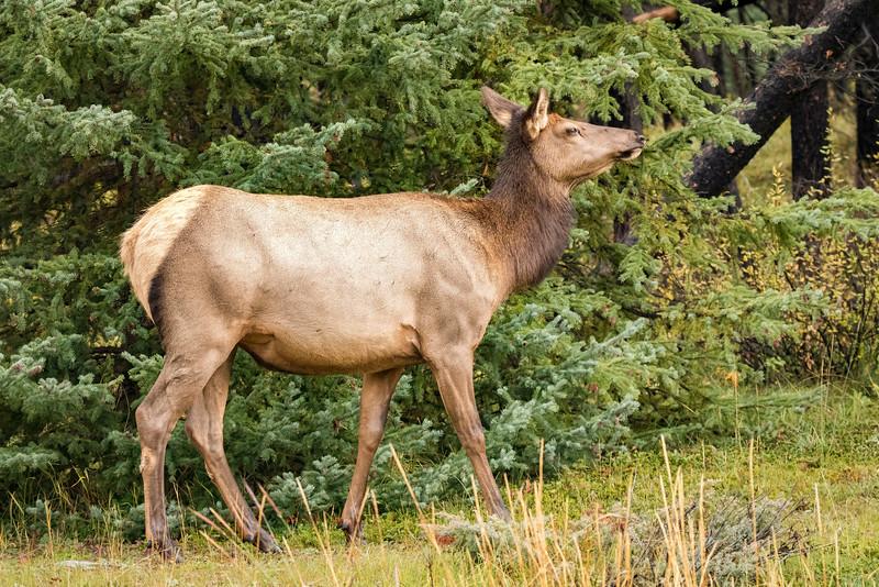 Female Elk 2, Jasper National Park, Alberta, Canada
