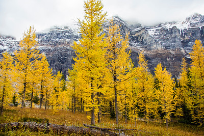 Larches, Larches, and More Larches