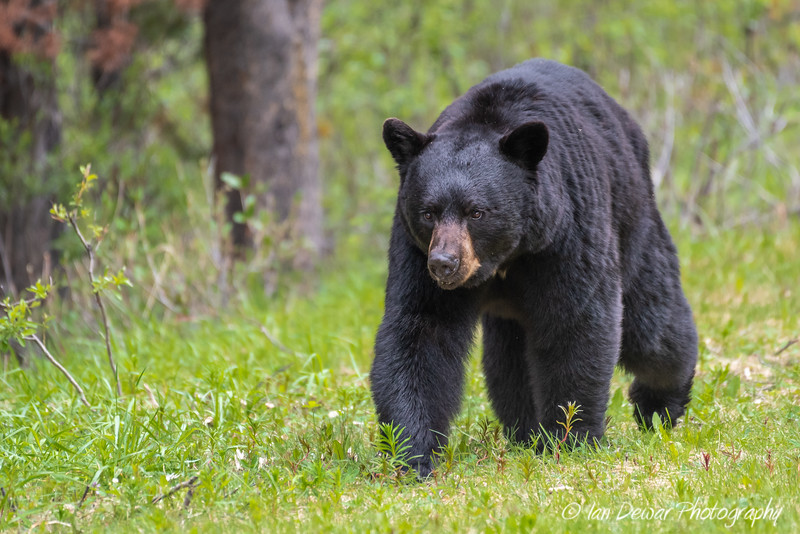 A Black Bear Approaches