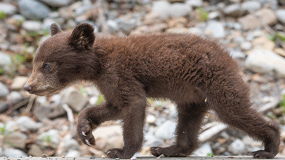 Bear Cub on the Move