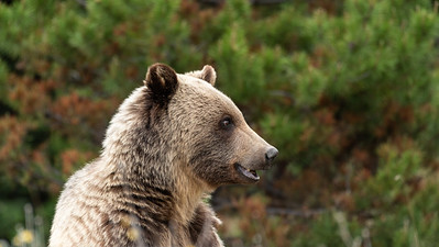 The watching grizzly