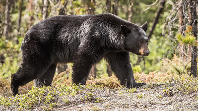 Bear on the Move