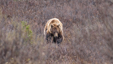The approaching grizzly