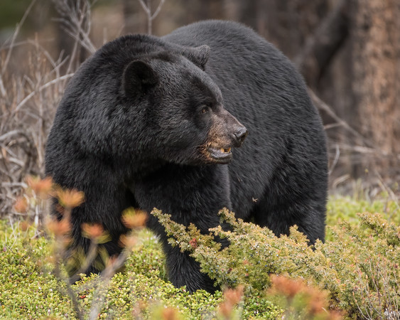 A black bear with an unhappy expression