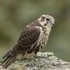 Prairie Falcon - Juvenile