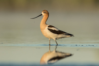 American Avocet - Adult Male