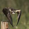 Osprey - Juvenile