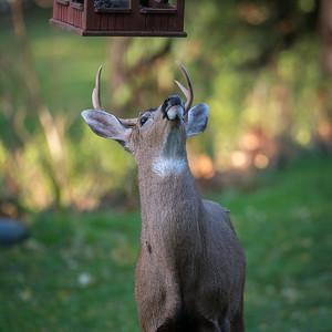 Deer tricks