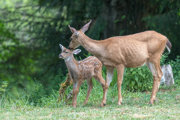Brown Eyed Girl brings her offspring to our backyard.
