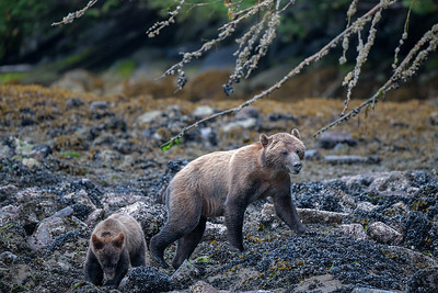 Coastal Brown Bear Cubs