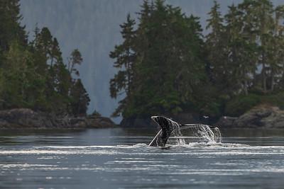 Humpback Whale Fluke.