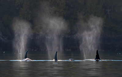 Four Orcas from A Pod