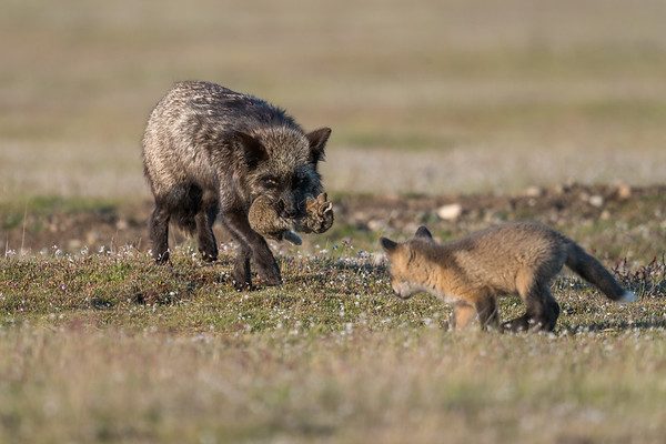 Out foxing a Fox kit.