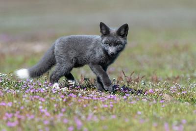 Red Fox Kit Gray Varient