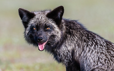 Portrait of Mother Fox, Red Fox silver varient.
