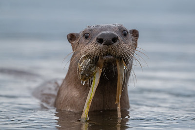 River Otter and a Bullhead with a side of seaweed.