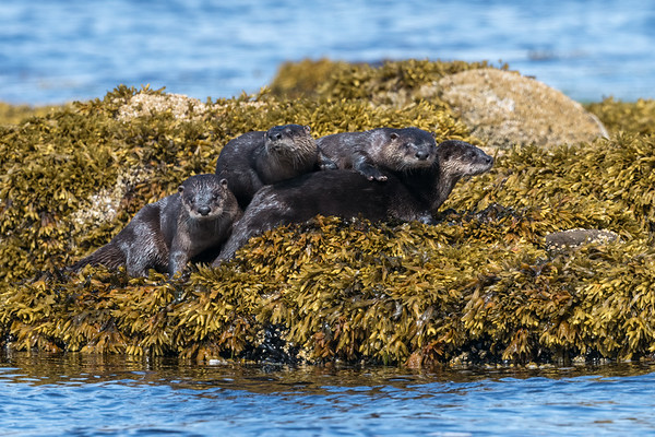 A pile of River Otters