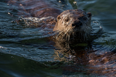 River Otters at the breakwater