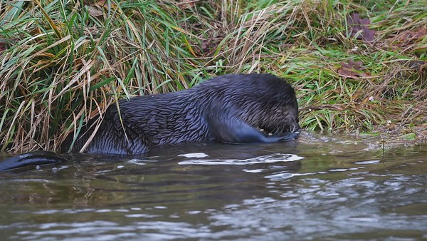 River Otter with a spawned Salmon.