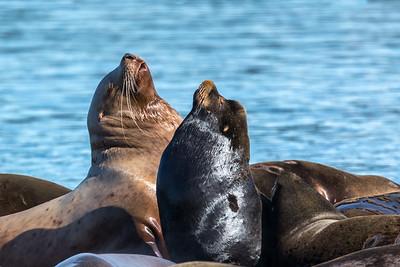 Sea Lions at Fanny Bay, BC