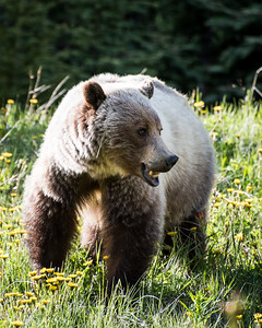 Grizzly Bear-Kananaskis-Large