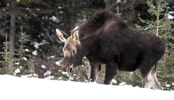 Calf Moose, Canmore-large