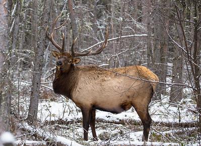 Bull Elk, Waskesiu SK