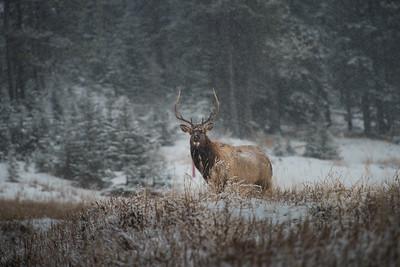 Bull Elk, Banff-large