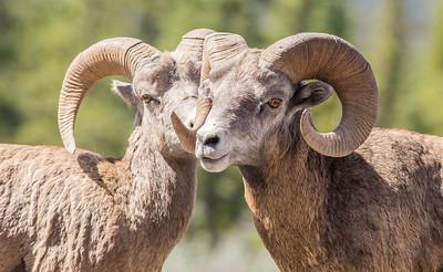 Big Horn Sheep Ram, Jasper, AB